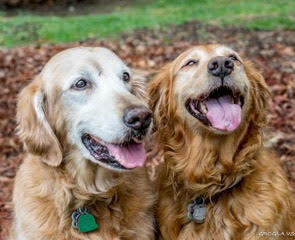 Grcglar Golden Retriever Club Of Greater Los Angeles Rescue Is An